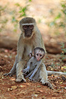 Grivet Monkey female and her little tongue out RSA (Green monkey )