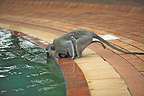 Grivet Monkey female drinking water from a pool RSA (Green monkey )