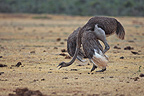 Courtship of a female ostrich PN Addo Elephant�RSA (Ostrich)
