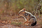 Young Black-backed Jackal scratching PN Addo Elephant (Black-backed jackal)