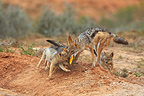 Black-backed Jackal female feeding its young in RSA (Back-backed jackal)