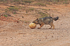 Young Jackal plunging his nose into an egg Ostrich RSA (Back-backed jackal)