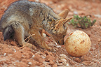 Young Jackal observing an egg Ostrich RSA (Back-backed jackal)
