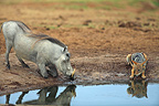 Common Warthog and Jackal in a watering place RSA (Black-backed jackal; Warthog)