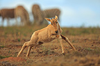 Young Red Hartebeest jumping in Mountain Zebra NP in RSA (Red Hartebeest)