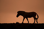 Plains Zebra in the morning in the Addo Elephant NP RSA (Burchell's zebra )