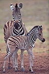 Plains Zebra and foal in the Addo Elephant NP RSA (Burchell's zebra )