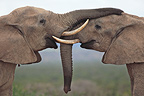 Friendly contact between African Elephants, Addo Elephant NP, South Africa.