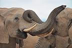 Friendly contacts between Elephants Addo Elephant NP RSA (African elephant)