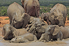 Family of Elephants bathing in the Addo Elephant NP RSA� (African elephant)