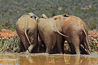 Elephants out of a mud bath Addo Elephant NP RSA (African elephant)