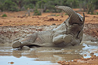 Elephants taking a mud bath Addo Elephant NP in RSA (African elephant)