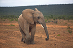 Young Elephant moving in the Addo Elephant NP RSA (African elephant)