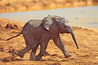Baby elephant running near a pond Addo Elephant NP in RSA (African elephant)