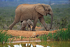 Elephant and baby walking near a pond Addo Elephant NP (African elephant)