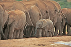 Baby elephant walking behind a group of adults RSA (African elephant)