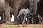 Baby elephant near its mother in a group of adults RSA (African elephant)