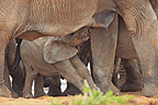 Baby elephant mother suckling PN Addo Elephant in RSA (African elephant)