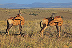 Red Hartebeests scratching the side Desert of Karoo in RSA (Red Hartebeest)