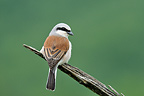Red-backed Shrike male on the lookout Bugey region France (Red-backed Shrike)