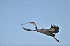 Black-headed heron flying with branch in bill Kenya (Black-headed heron)