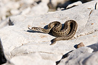 Orsini's Viper standing on a rock France