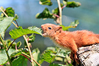 Young Eurasian Red Squirrel eating leaves France (Eurasian red Squirrel )