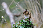 Feral Siberian chipmunk nibbling on a seed, Soignes Forest, Belgium. Sold in Europe as pet in the 1960's, they were released into the wild where perennial populations  now exist (The Netherlands, Belgium, Switzerland, Germany, Italy and France).
