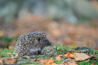 Young European Hedgehog looking for food in autumn (Western european hedgehog )