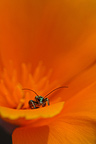 Thick-legged Flower Beetle feeding on pollen in a Californian Poppy, France�