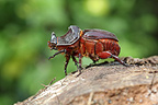 Rhinoceros beetle walking on a stump of wood France