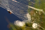 Cross Orbweaver spider on the lookout on his web in the early morning, France