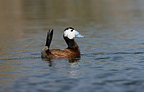 Male White-headed duck swimming Spain (White-headed Duck)
