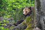 Relaxed European brown bear in spring, Bavarian Forest NP, Germany