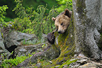 European brown bear sleeping against a tree, Bavarian Forest NP, Germany