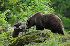 European brown bear female and cub, Bavarian Forest NP, Germany