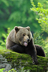 European brown bear, Bavarian Forest NP, Germany