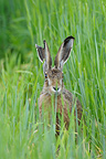 European Brown Hare in grain field in summer, Germany