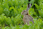 European brown hare in a field of sugar beets in summer, Germany