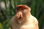 Portrait of a male proboscis monkey in mangrove forest Sabah (Proboscis monkey )