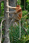 Male proboscis monkey in mangrove forest Sabah (Proboscis monkey )