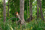 Proboscis monkey sitting on a tree in mangrove forest Sabah (Proboscis monkey )