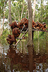 Orangutan on feeding platform during flood Borneo (Orangutan)