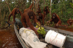 Groupe of Orangutans taking fruits from boat Borneo (Orangutan)