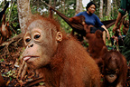 Young Orangutans with care takers in Borneo (Orangutan)