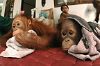 Sick babies at clinic in the Nyaru Menteng RC Borneo (Orangutan)