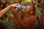 Milk distribution in the Nyaru Menteng RC for Orangutan (Orangutan)