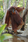 Orangutan adult male in peat swamp forest (Orangutan)
