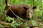 Sumatran Rhinoceros female in the forest Way Kambas NP (Sumatran rhinoceros)