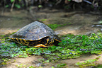 Yellow-bellied slider in a brook Belgium (Yellow-bellied pond Slider)